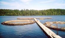 Карелия вошла в число лидеров по объемам выращивания рыбы