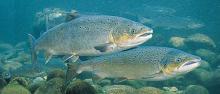 В Ненецком автономном округе усилен надзор за атлантическим лососем