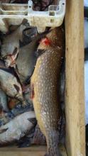 Новгородских промысловиков проинспектировала рыбоохрана