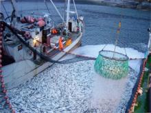Российские рыбаки наращивают темпы вылова: добыто более 1 млн тонн – на 2,6% выше уровня 2017 года