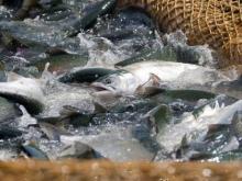 Рыбаки в Систо-Палкино перебрали с судаком