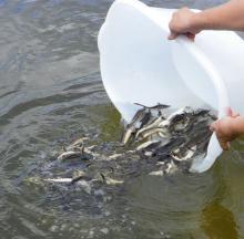 В Ладожское озеро выпустили 17 тысяч сеголеток сига