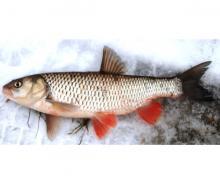 В период новогодних праздников Северо-Западным территориальным управлением Росрыболовства проведена работа по выдаче разрешений на добычу (вылов) водных биоресурсов