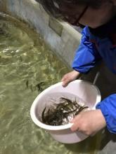 Северо-Западный филиал Главрыбвода выпустил 20 тыс. штук молоди кумжи в реку Вруда