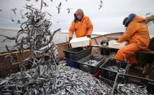 К 20 мая российские рыбаки добыли более 2 млн тонн – на 5,9% больше уровня 2019 года