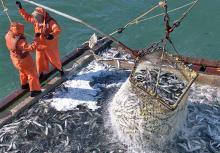 К 27 мая российские рыбаки добыли около 2,1 млн тонн – на 6,3% больше уровня 2019 года