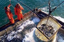 К 15 июня российские рыбаки добыли около 2,3 млн тонн – на 7,0% больше уровня 2019 года