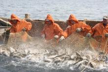 На 29 июня российские рыбаки добыли около 2,5 млн тонн – на 7,3% больше уровня 2019 года