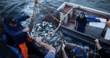 Северные моря обеспечили Карелию богатыми уловами