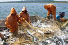 На 14 сентября российские рыбаки добыли 3,7 млн тонн водных биоресурсов